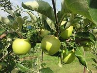 DSC02893-201807リンゴ摘果.jpg