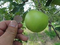 DSC02900-201807リンゴ摘果.jpg