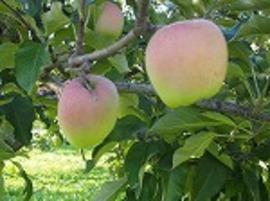 「印度」りんご