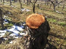 一本全て伐採した樹