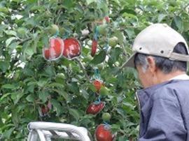 残した果実が成熟したらどんな様子になるのか、イメージしやすくするための工夫です