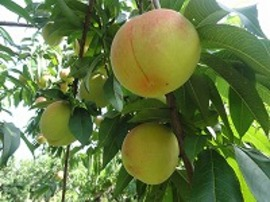 こちらは「滝ノ沢ゴールド」。果肉の黄色い桃です。
