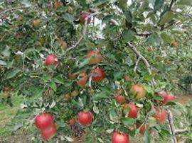 リンゴ「紅玉」です。葉を摘むのが遅れています