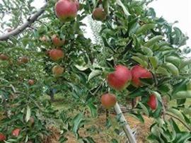 リンゴ「秋映」。しっかり葉を摘みます