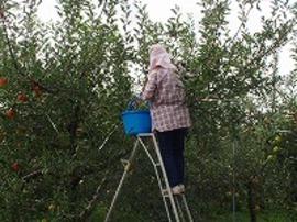 なっているりんごの数も少なくなりました