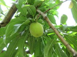 講習会園地の果実(だて白桃)です